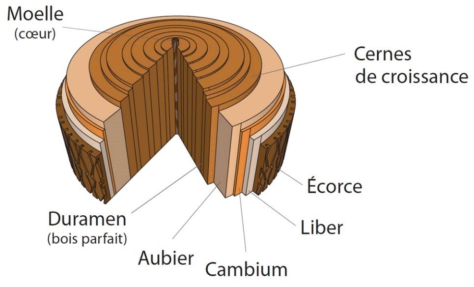 Les différentes couches de l'arbre